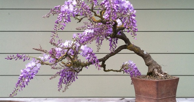 Глициния: выращивание и уход, посадка весной в горшок или грунт и размножение в домашних условиях, фото цветка в виде лианы, а также как быстро он развивается?