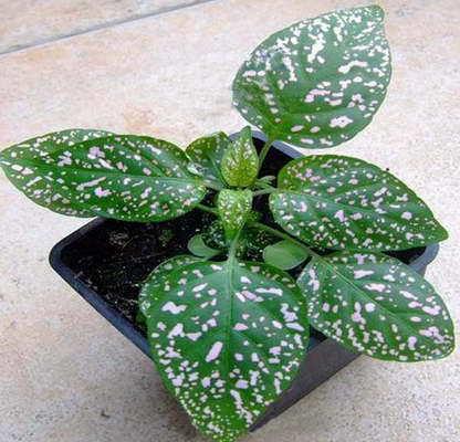 Гипоэстес: фото, уход в домашних условиях, выращивание на улице в открытом грунте, а также особенности размножения комнатного цветка семенами и черенками
