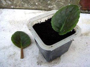 Как вырастить фиалку в горшке из семян и как правильно сделать укоренение листьев?
