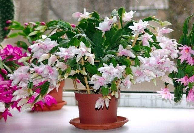 Адениум: как заставить цвести в домашних условиях, почему нет бутонов, когда и что делать, чтобы добиться их появления, какой уход нужен растению?