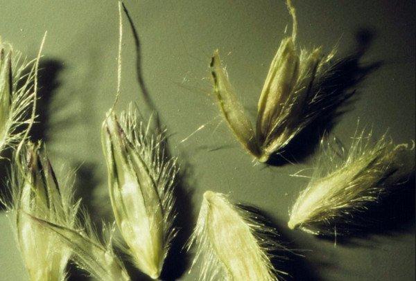 Лисий хвост: описание комнатного растения и фото цветка акалифы, популярные виды, уход за ними, болезни alopecurus pratensis aureovariegatus
