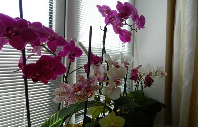 Болезни орхидеи фаленопсис на листьях: способы лечения с фото, почему краснеют наружные органы растения или если появляются пузырьки и белый рыхлый налет?
