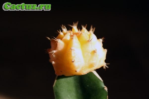Прививка кактуса: зачем это нужно делать и какова техника проведения процедуры, требуется ли подготовка, а также какие существуют преимущества и недостатки?