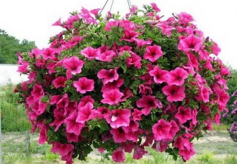Петуния вянет: что делать, как быть, если листья скукоживаются, почему это происходит с цветком, растущим в горшке?