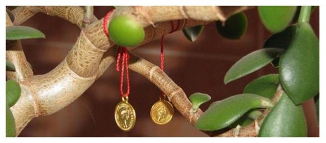 Толстянка: виды, фото и названия крассулы - марнье, неалиана, серповидная, фальката, вариегатная, crassula lactea, а также обзор, какие бывают сорта денежного дерева