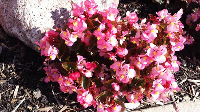 Бегония вечноцветущая: размножение черенками и как сеять из семян на рассаду, а также возможные проблемы и уход за цветком