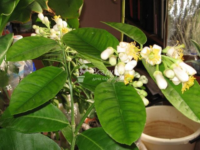 Как привить лимон в домашних условиях, чтобы он плодоносил: когда можно это делать, как правильно подготовить комнатное дерево из косточки, что такое метод в расщеп?