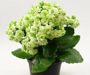 Каланхоэ: болезни листьев (вид на фото) и их лечение, способы борьбы с вредителями, уход в домашних условиях для профилактики недугов цветка