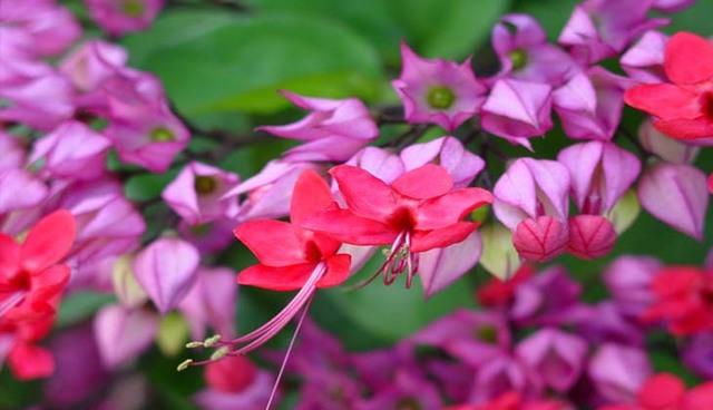 Клеродендрум Просперо: описание растения и его фото, а также посадка и уход в домашних условиях, вредители цветка и способы размножения