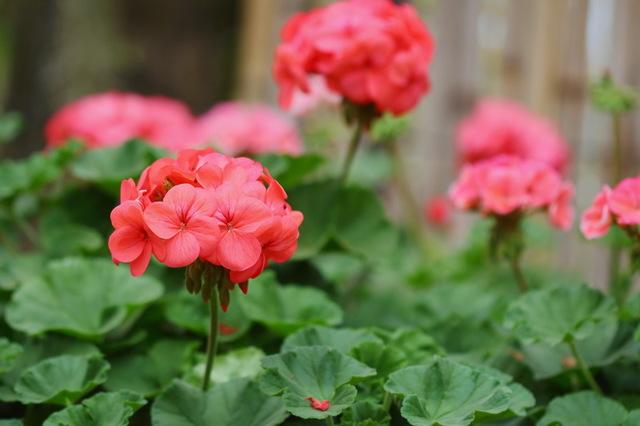 Йод для цветения герани: подкормка растения этим удобрением и перекисью водорода, подготовка к поливу, а также для чего это нужно и как не навредить?