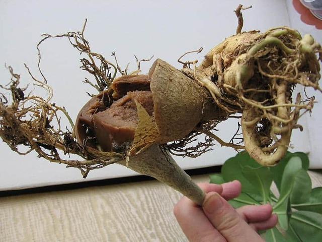 Каудекс адениума ссохся: что нужно делать, а также действия, когда ствол стал мягкий или вянет, как его нарастить и нюансы формирования