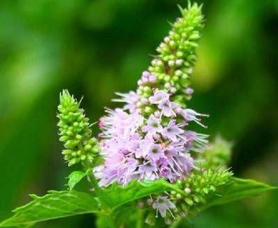 Вербена лекарственная: свойства и способы применения растения, его фото, а также особенности ухода за этой травянистой культурой на дачном участке в открытом грунте