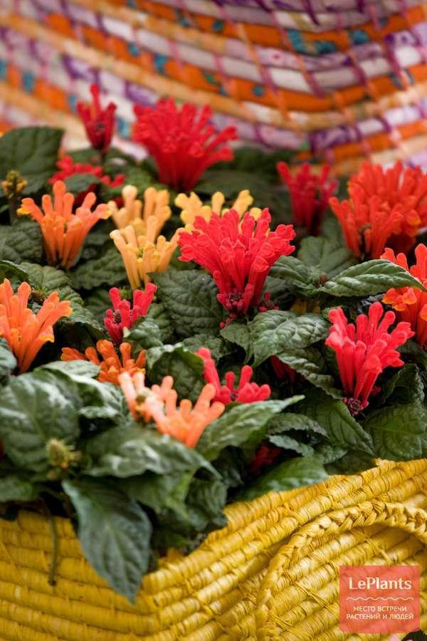 Шлемник или скутеллярия (scutellaria): что это за цветок, как его вырастить в саду, для чего применяют в народной медицине, а также распространенные виды и их фото