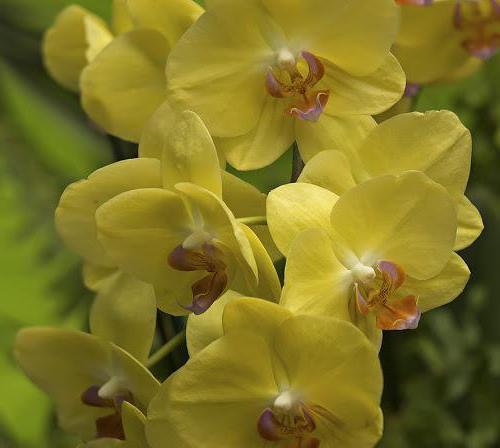 Желтая орхидея фаленопсис: фото это сорта, уход за растением, размножение и пересадка цветка