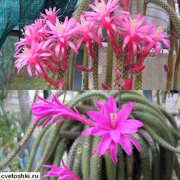 Апорокактус: характеристики и фото Плетевидного вида, Концатти и aporocactus martianus, уход в домашних условиях за Дизокактусом (disocactus)