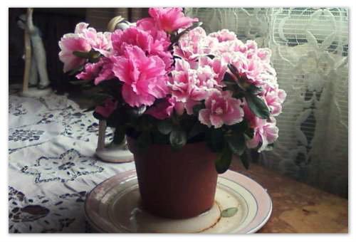 Посадка и уход за рододендроном: как правильно сделать это с комнатным цветком азалией, из каких этапов состоит процедура в домашних условиях, фото