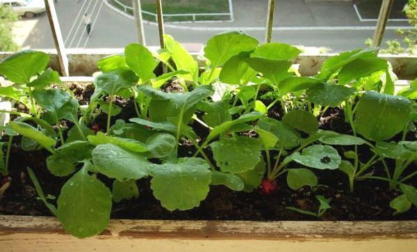 Выращивание редиса на балконе: можно ли посадить овощ дома, также в пластиковых бутылках, как пошагово это сделать, какие условия надо соблюдать и правила ухода