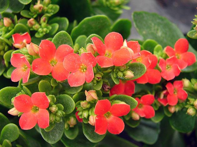 Каланхоэ цветущий: почему он иногда отказывается цвести и как его заставить, а также как быть, если растение вытягивается?