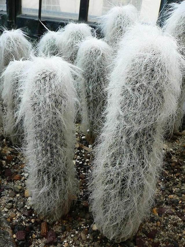 Пушистый кактус: особенности содержания, названия и фото видов волосатых суккулентов, а также рекомендации, как ухаживать за лохматыми растениями