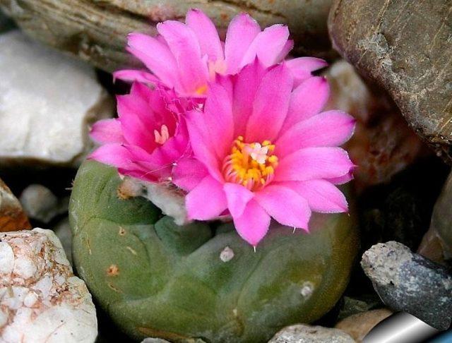 Лофофора: что это за кактус, пересадка, размножение, особенности ухода, обзор видов lophophora fricii, diffusa и других