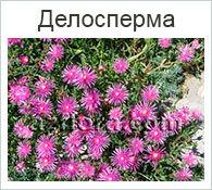 Крассула «Храм Будды» (crassula buddha's temple), или пагода — фото и описание толстянки, уход за растением в домашних условиях, размножение и похожие цветы