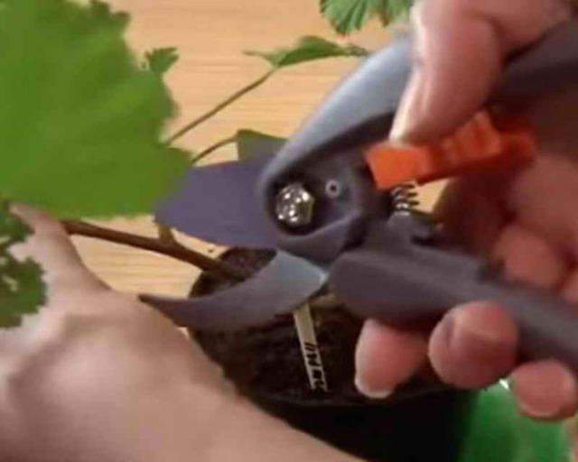 Как обрезать герань в домашних условиях, чтобы она была пушистая: можно ли проводить коррекцию формы летом или нужно осенью, пошаговое фото и дальнейший уход
