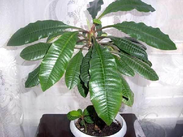 Эуфорбия: фото, уход в домашних условиях за кактусом молочаем комнатным, а также описание органов, в которых у растения запасается влага и иных особенностей цветка