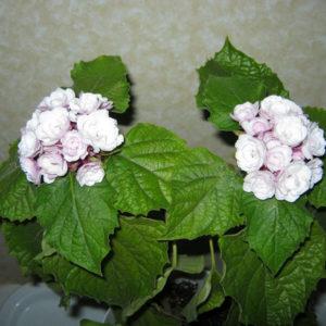 Клеродендрум Филиппинский: описание внешнего вида и фото цветка, особенности ухода за ним в домашних условиях, а также советы по размножению и борьбе с болезнями