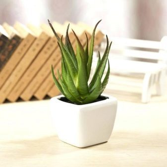 Алоэ полосатое: фото растения, ботаническое описание внешнего вида и свойств, информация по выращиванию и разведению