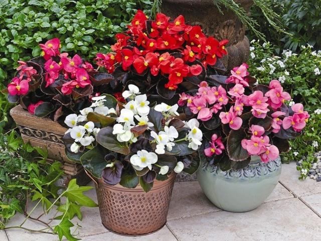 Бегония домашняя: уход в домашних условиях после покупки, посадка и выращивание, можно ли опрыскивать водой, и что делать, если растение не цветет?