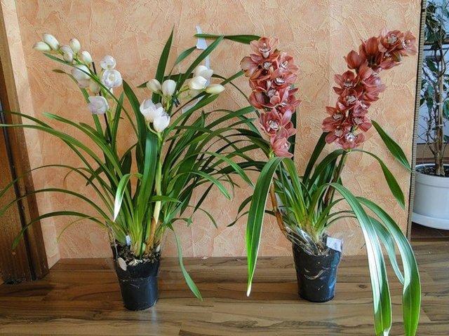 Орхидея цимбидиум: что это за растение, фото его видов, а также уход за ним в домашних условиях, в том числе что делать, чтобы из стрелочки появился цветок?