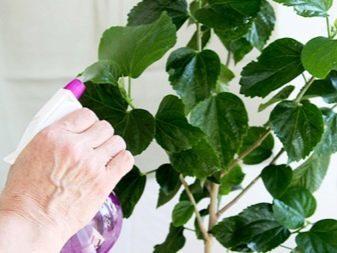 Гибискус болотный: посадка и уход в открытом грунте и в домашних условиях, выращивание из семян, размножение черенками, фото