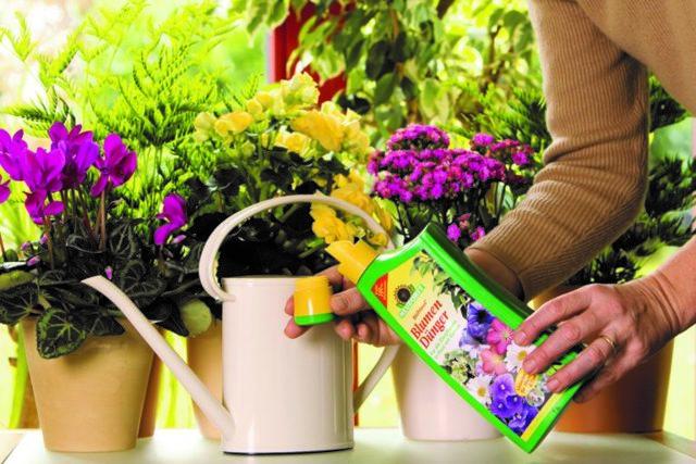 Зимнее удобрение для домашних роз, а также чем подкормить комнатные цветы в горшке в условиях весны, лета и осени, какие лучшие средства подойдут для этой цели?