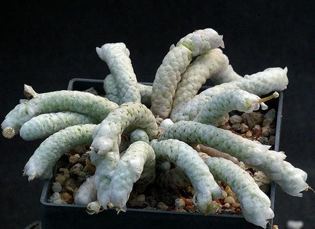 Анакампсерос: что это за цветок, какие бывают виды anacampseros, к примеру alstonii, retusa, filamentosa и другие, а также уход за растением и его размножение