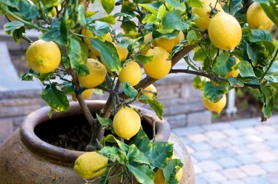 Грунт для лимона: что любит комнатный фрукт и в какую почву нужно его сажать, как сделать специальную землю в домашних условиях, и что должно входить в её состав?