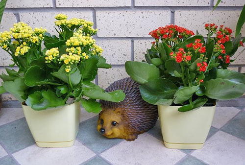 Каланхоэ Каландива или Блоссфельда: что это за растение, его разновидности Микс и Мини, а также особенности ухода в домашних условиях и фото