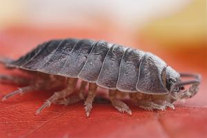 Как избавиться от мокриц в квартире, чем вывести самостоятельно в домашних условиях, как лучше с ними бороться, насекомые ли это и их фото и средства для уничтожения