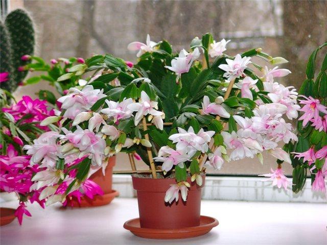 Нотокактус: фото растения и его виды, способы селекции, особенности цветения, возможные болезни, а также все нюансы ухода в домашних условиях