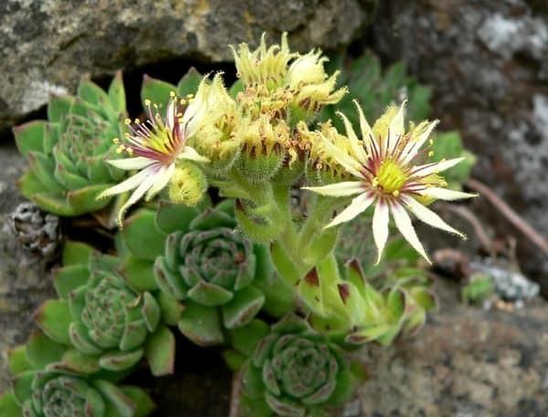 Молодило из семян: как вырастить каменную розу в домашних условиях, что необходимо соблюдать для правильного посева, а также рекомендации по посадке и уходу