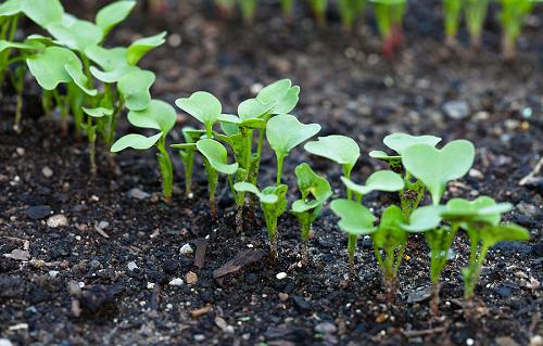 Почему редиска идет в стрелку и что делать: по каким причинам растение может вытянуться и зацвести, влияет ли это на урожай и как его спасти?