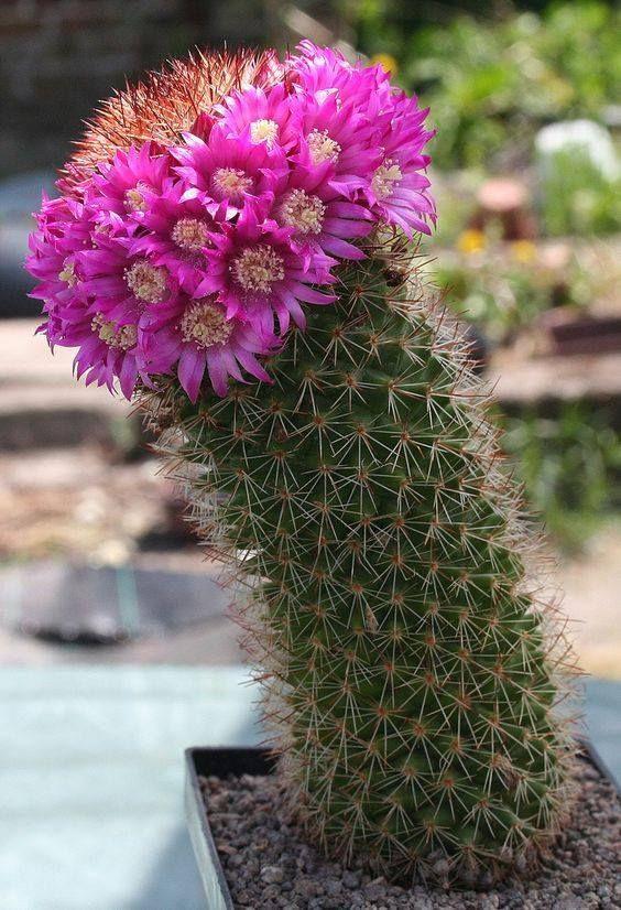 Фотогалерея домашних кактусов