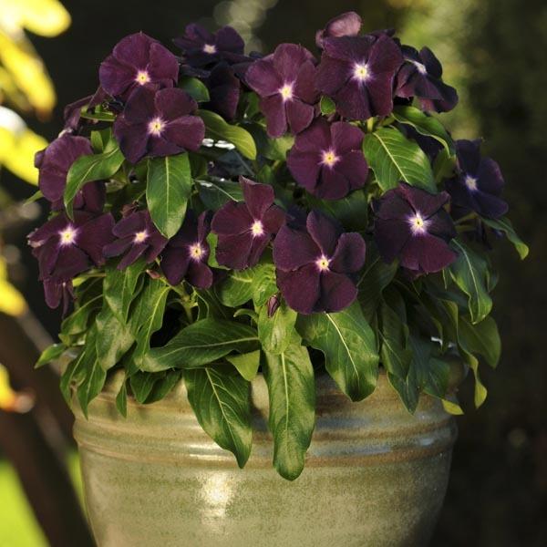 Катарантус: выращивание и уход, фото, как осуществляются в домашних условиях посадка и другие процессы, почему у растения желтеют листья
