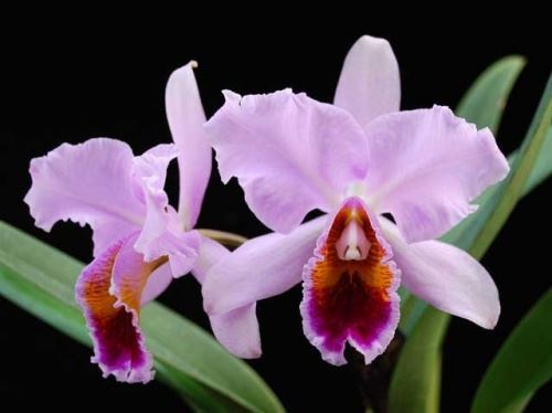 Условия содержания домашней орхидеи: кратко о том, какая влажность воздуха, температура и освещение нужны разным видам этого растения