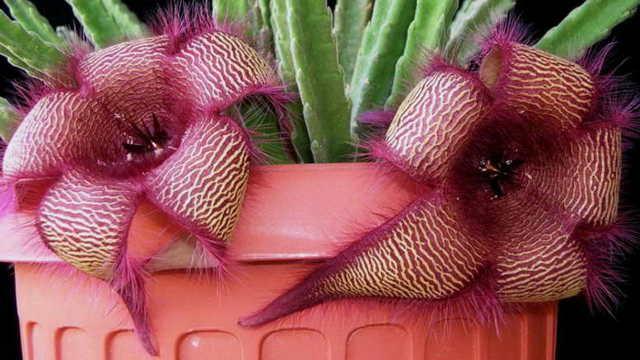 Стапелия: кактус или нет, ядовитое ли это растение, а также описание видов stapelia с фото и уход за цветком в домашних условиях