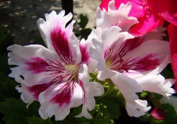Королевская пеларгония: сорта с фото - мандарин, белая, астэро пинк и нюансы ухаживания за растением