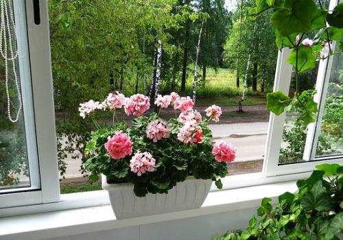 Как ухаживать за геранью в домашних условиях, чтобы цвела: как заставить растение, а также что нужно сделать для появления пышных и обильных бутонов на все лето?