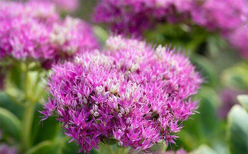Лекарственные свойства очитка (пурпурного, заячьей капусты, едкого, живучего), как трава выглядит, рецепты применения в народной медицине, при раке, противопоказания