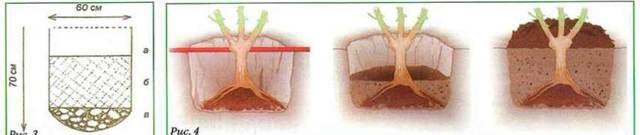 Саженцы роз: как выбрать вегетирующий или другой вид этого материала для выращивания и посадить весной, покупать ли его в контейнерах и что за уход ему требуется?
