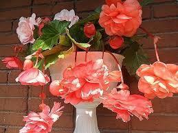 Бегония цветущая не цветет: почему, что делать в домашних условиях и как ухаживать за комнатным растением, чтобы оно давало не только листву, а также смотрите фото
