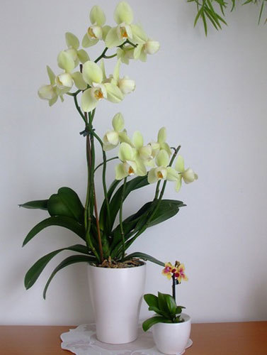 Бона Форте для орхидей: инструкция по применению концентрированного удобрения, способ внесения тоника 1 серии красота, особенности подготовки и дозировки препарата